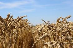 Минсельхоз США повысил прогноз урожая пшеницы вРоссии