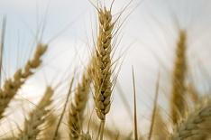 Минсельхоз списал 700 тысяч гектаров посевов пшеницы