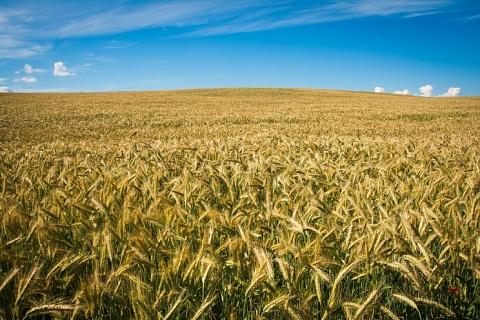 Импорт ржи может достигнуть 85 тысяч тонн