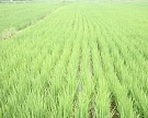 «Агрокомплекс» приобрел еще 3,5 тысячи гектаров рисовых полей