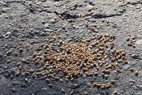Внутренние цены на пшеницу нового урожая ожидаются на уровне от 9 тысяч рублей