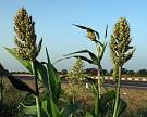 «Черкизово» нарастит самообеспеченность зерном до35%