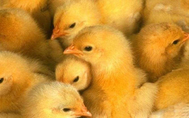 Инкубация яиц. Как это делается