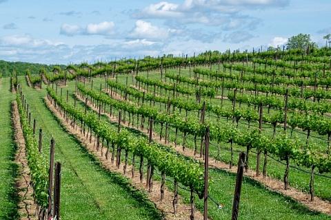 «Кубань-вино» доведет площадь плодоносящих виноградников до 9 тысяч гектаров