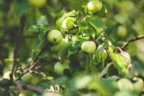 Урожай фруктов может снизиться из-за заморозков