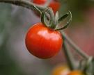 Усилить аромат томатов помогут сахара икислоты