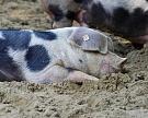 Чума свиней добралась до Омской области