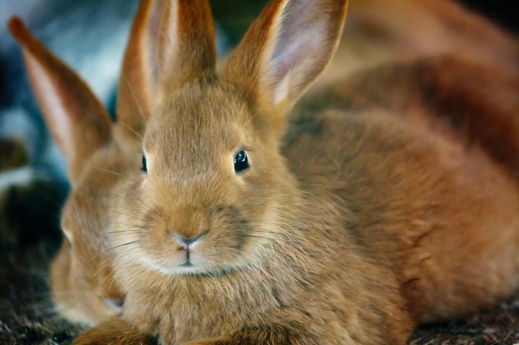ВЯрославской области будет создан кролиководческий кластер