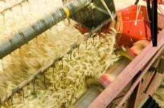 Российская пшеница подорожала из-за девальвации рубля