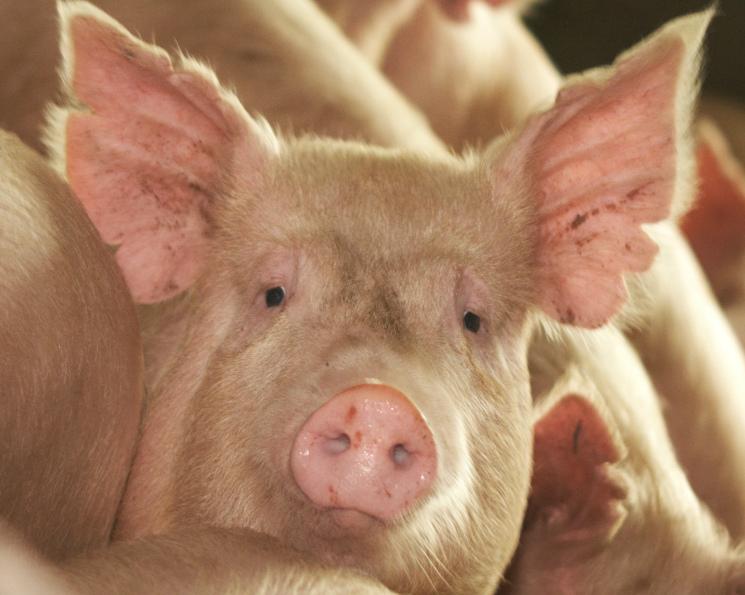 Датский инвестор накормит свининой Ленобласть. С вводом нового предприятия «Идаванг Луга» производство в регионе вырастет на 25%