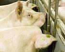 Белоруссия временно ограничивает поставки свинины с Украины