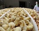 «Черкизово» снизит зависимость отзарубежной генетики
