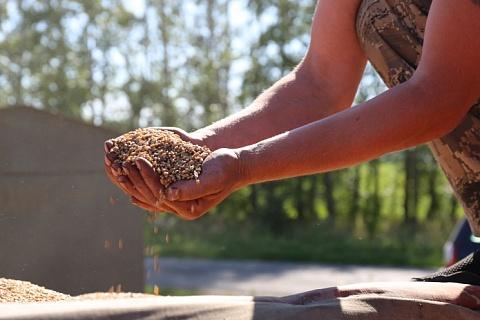 Доля продовольственной пшеницы нового урожая оценивается в 79%