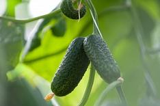 В 2019 году урожай тепличных овощей вырастет до 1,3 млн тонн