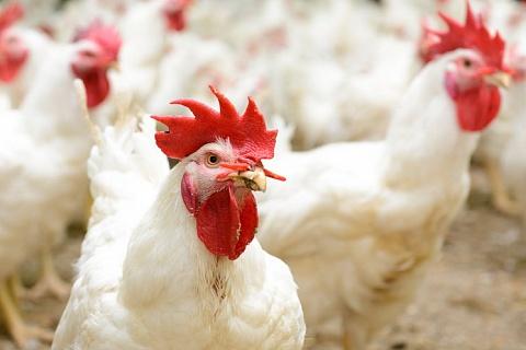 Агрохолдинг «Дороничи» займется птицеводством