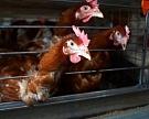 «Синявинская» закупит еще 350 тыс. кур-несушек