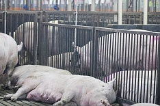 Russia Baltic Pork Invest уничтожит 111 тысяч свиней из-за АЧС