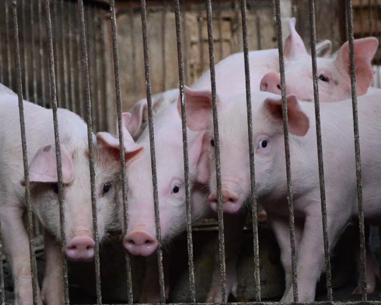 Свинокомплекс «Алтаймясопром» признан банкротом