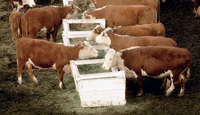 Коровья вольница