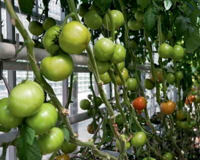 Подмосковье обеспечит себя овощами