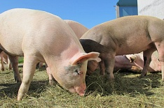 Чума свиней набирает обороты