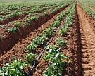 Агрофирма «Трио» планирует инвестировать в производство картофеля