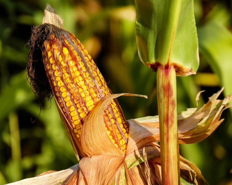 Непростой початок. Дорогостоящие ошибки при выращивании кукурузы