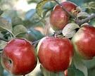 Великолукская сельхозакадемия защитила яблони