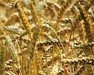 Итоговый урожай зерна может превысить 103 млн тонн
