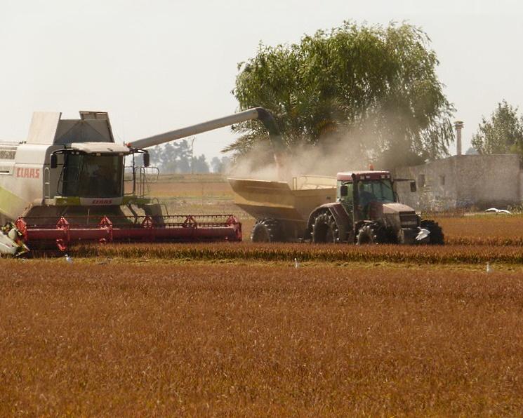 Кубань на четверть увеличила урожай риса