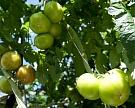 Производство тепличных овощей за четыре года выросло на 50%