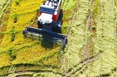 В России началась уборка риса