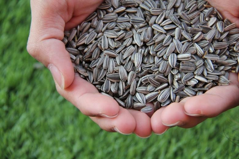 США— №1 по отгрузкам в Россию семян подсолнечника и овощей