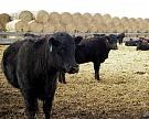 «Бондарская сельскохозяйственная компания» увеличит поголовье мясного КРС дотрех тысяч