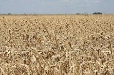 Эксперты повышают прогноз урожая зерна