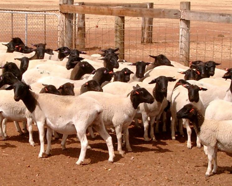 «Мираторг» перенес открытие пилотной овцеводческой фермы