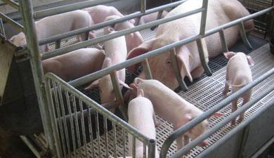 СибНИПТИЖ написал программу для свиноводства