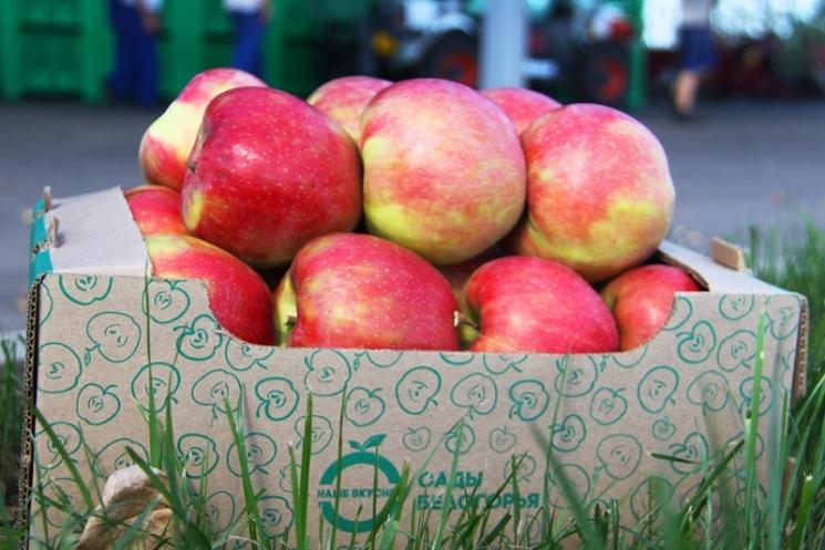 «Агро-Белогорье» к 2019 году расширит площадь яблоневого сада вдвое— с 82,7 га до 167,5 га