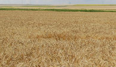 Урожай зерна составит 70?75 млн т