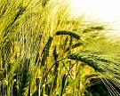 ФАО иFAS USDA прогнозируют снижение урожая пшеницы вРоссии