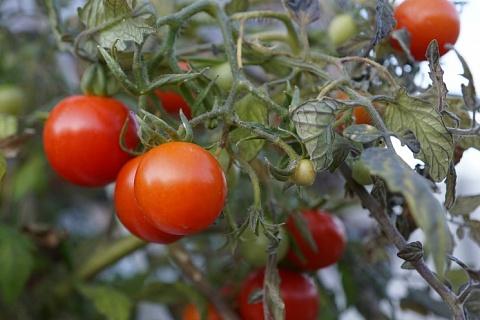Урожай тепличных овощей увеличился на 30%