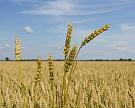Кубань рассчитывает побить рекорд поурожаю зерна