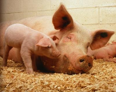Свинина: производство растет, цена падает
