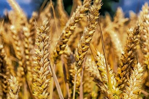 Урожай пшеницы 3-го класса стал рекордным с 2008 года