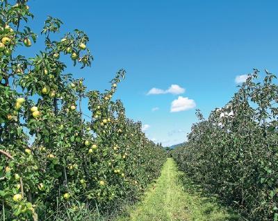 Яблоко импортозамещения