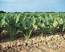 Посевы сахарной свеклы в «Авангард-Агро» превысили 14,3 тыс. га