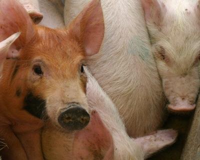 Карантин из-за вируса чумы свиней введен вКалужской области