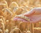 МСХ объявил цены закупок интервенционного зерна