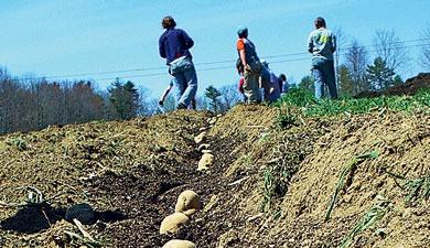 «Дока» вдвое снизила себестоимость картофеля