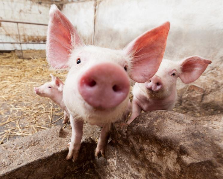 Кормовой баланс. Основные тренды в кормлении свиней